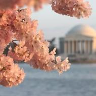 The Centennial Celebration of the National Cherry Blossom Festival – Celebrate with Vitabath!