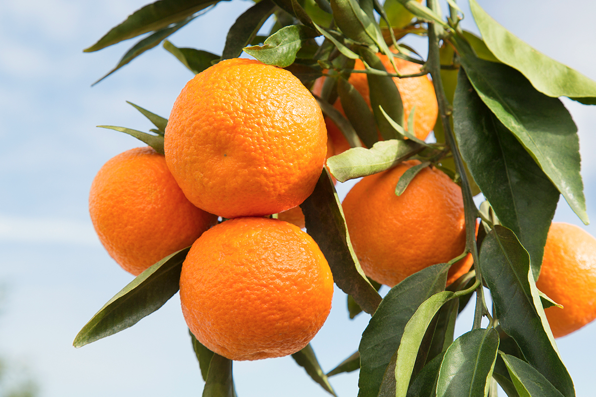 Wonderful Halos mandarins are in season from November to April! Get them at your nearest grocery store today!