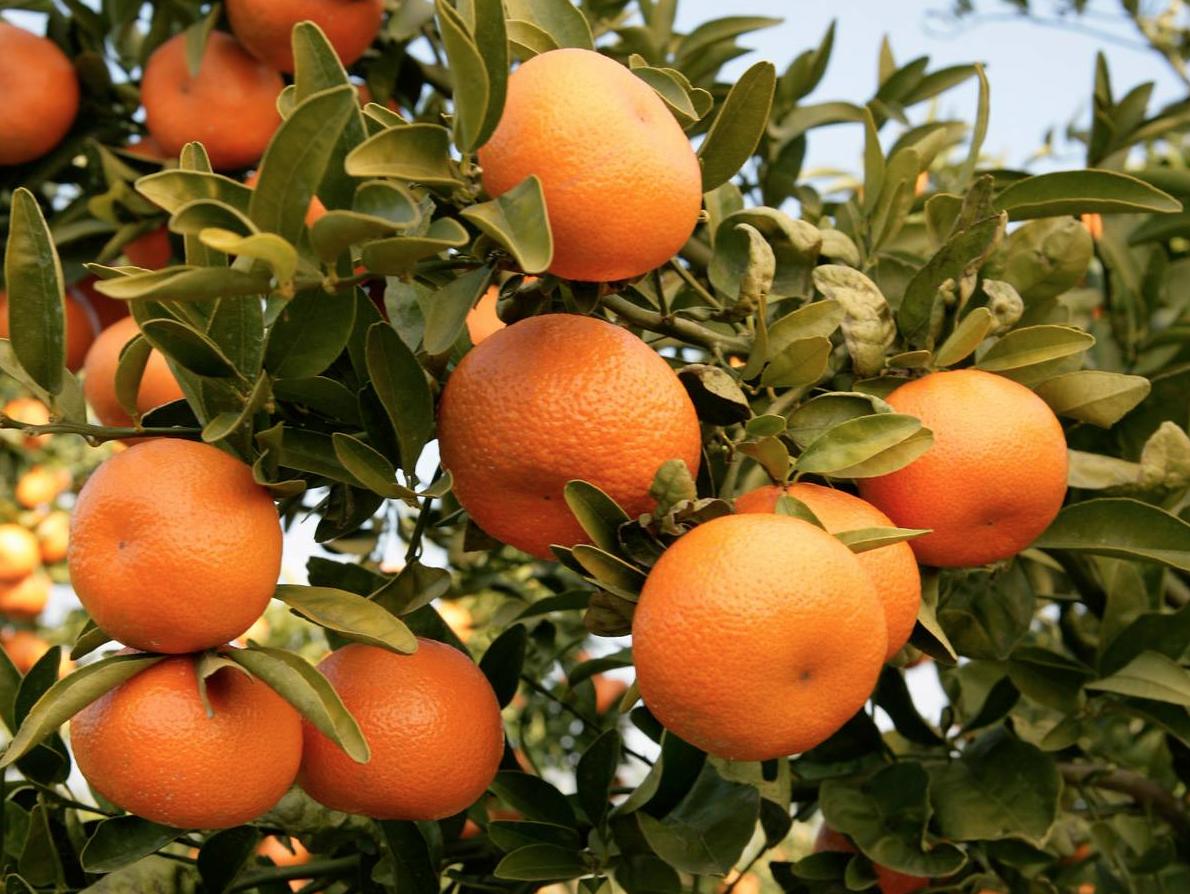Wonderful Halos Mandarins
