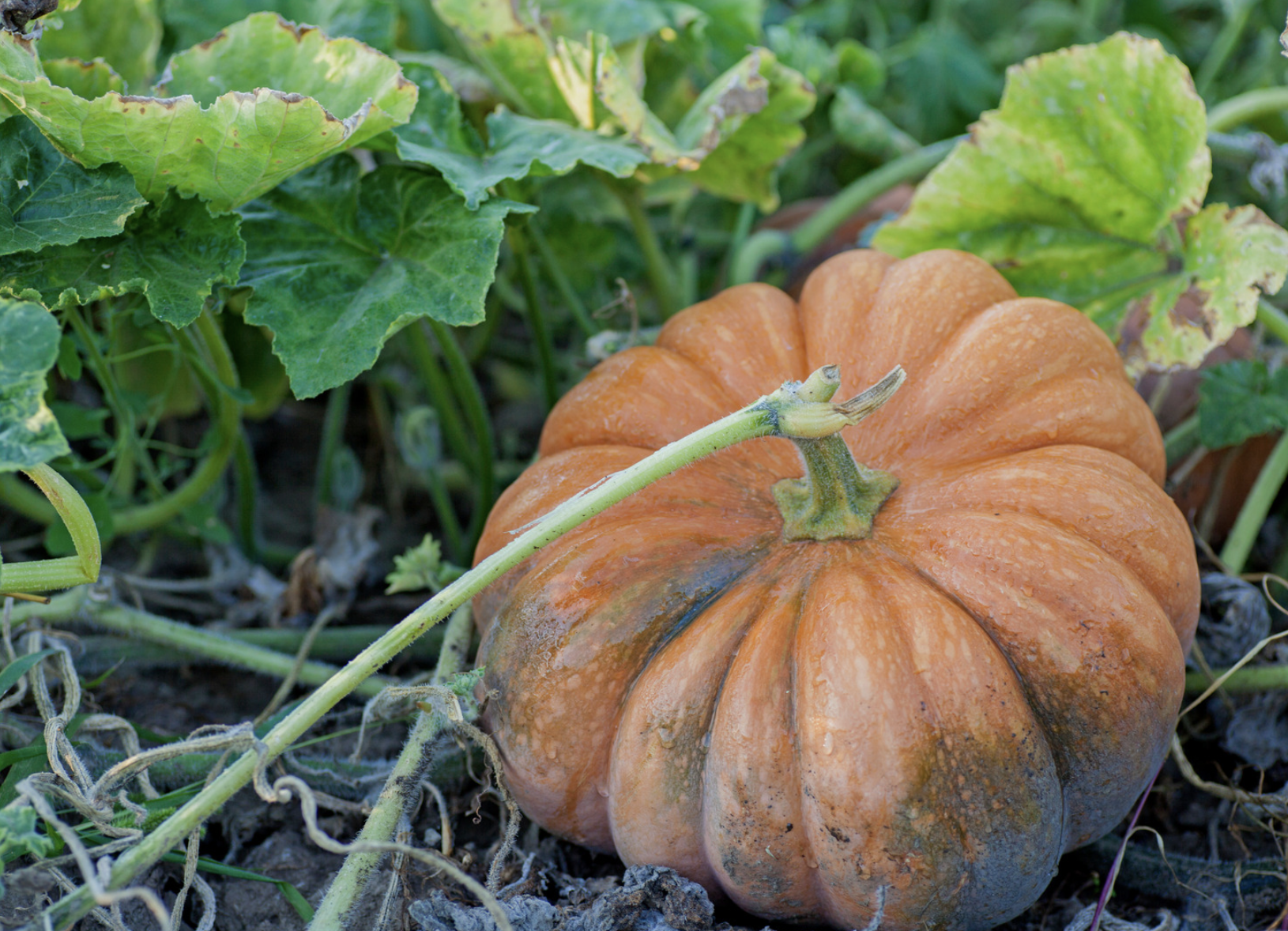 Pumpkin Trivia - 30 Fun Facts About Pumpkins You Never Knew